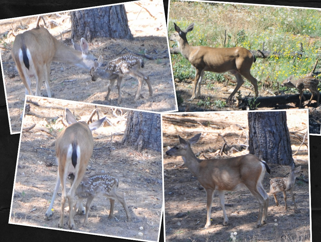 California Mule deer, Doe and Fawn; in the lower left the Doe is nursing the fawn.