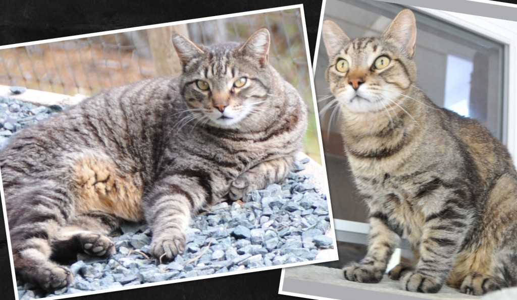 Squeeky weighed about 17 pounds most of his adult life.  He is 10 years old now and weighs 13 pounds.